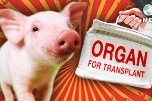 Transferul si transplantul de organe de la animale la oameni: mit sau adevar?